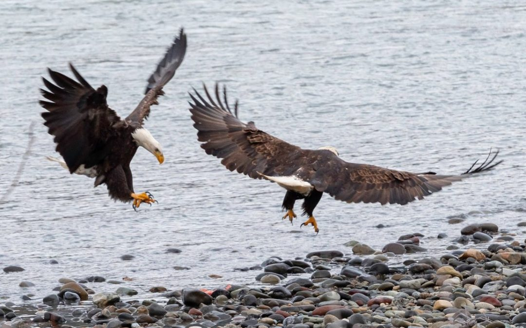 Outdoor Education Spotlight: The Bald Eagle