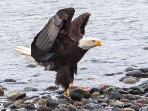 Eagle hunting salmon
