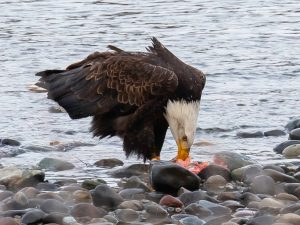 Eagle eating salmon