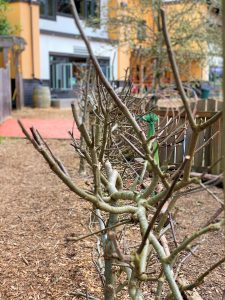 Espalier pruned by students